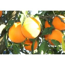 Naranja Mesa 15 kg., Palma del Rio